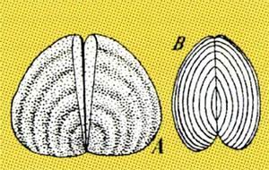 Dos Aptychus del titònic: A) <em>Aptichus punctatus</em>; B) <em>Aptychus lamellosus</em>.