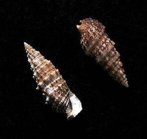 Dues conquilles de pada, del gènere <em>Cerithium</em>.