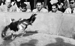 Esports. Imatge d´una baralla de galls, esport de gran tradició a Eivissa durant la primera meitat del s. XX. Foto: arxiu de Neus Riera Balanzat.
