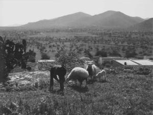 """Etnografia i cultura popular. Paisatge agrari, exemple de l´agricultura de subsistència que han practicat els eivissencs. Foto: cortesia de la família """"Soldat""""."""