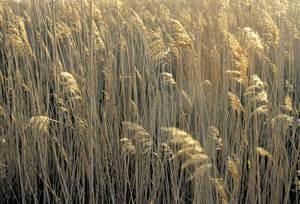 Fauna. Canyeta, vegetació típica de ses Feixes quan s´abandonen. Foto: Joan Costa-Hoevel Schwab.