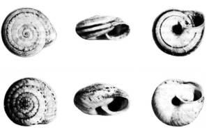 Fauna. <em>Trochoidea ebusitana</em>, procedent el primer del camp de Jesús i l´altre de l´illa de Tagomago. Extret de Veröffentlichungen aus dem Übersee-Museum Bremen, 1978.