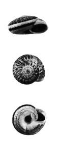 Fauna. <em>Trochoidea ebusitana</em>, procedent des Cap de Barbaria, Formentera. Extret de Veröffentlichungen aus dem Übersee-Museum Bremen, 1978.