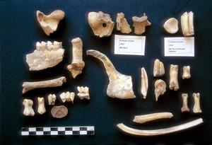 Prehistòria. Restes òssies d´ovicàprid de l´avenc des Pouàs, datats per 14C entre 4860-4550 aC. Foto: cortesia de la Universitat de les Illes Balears.