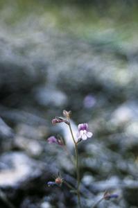 S´Espalmador. Flor de la planta <em>Chaenorrhinum formenterae</em>, petita linària anual endèmica. Foto: Guillem Puget Acebo.