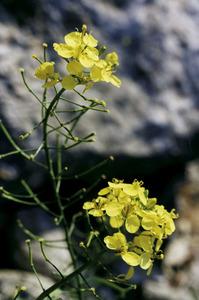 S´Espardell. Flor de la ravenissa end&egrave;mica (<em>Diplotaxis ibicensis</em>). Foto: Guillem Puget Acebo.