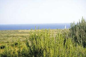 Formentera. Flora. El romaní (<em>Rosmarinus officinalis</em>) abunda al cap de Barbaria. Foto: Joan Lluís Colomar Roig.