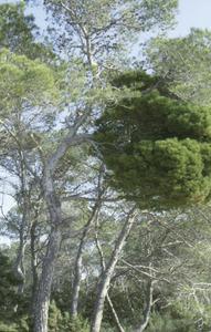 """Formentera. Flora. Empelt de bruixa sobre un pi bord (<em>Pinus halepensis<span style=""""text-decoration: underline;""""></span></em><span style=""""text-decoration: underline;""""></span>). Foto: Pepa Planells."""