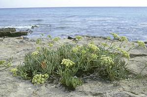 Formentera. Flora. Fonoll marí ( <em>Crithmum maritimum</em>). Foto: Pepa Planells.
