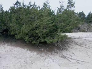 Sant Ferran de ses Roques. La savina és un exemple d´espècie vegetal adaptada a l´ecosistema dunar. Foto: Vicent Ferrer Mayans.