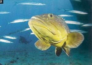 Un anfós, peix present a les aigües des Vedrà. Foto: Manu San Félix.