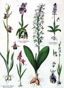 Làmina amb diverses plantes del botànic Heinrich Moritz Willkomm.