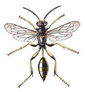 Una abella nord-africana.