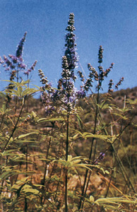 L´alòs (<em>Vitex agnus-castus</em>) és una espècie pròpia de llits de torrent. Extret de <em>Nova aportació al coneixement de les plantes d´Eivissa i Formentera</em>.