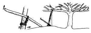 Dibuix esquemàtic d´un alciprem.