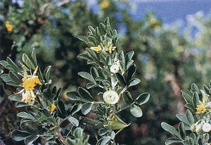 Alfals arbori. Foto: extret de <em>Nova aportació al coneixement de les plantes d´Eivissa i Formentera</em>.