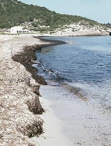 Acumulacions d´alga a la platja des Cavallet. Foto: Cristòfol Guerau d´Arellano Tur.