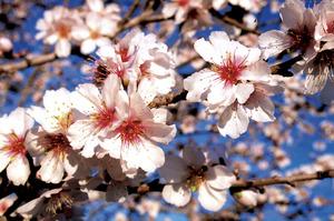 Detall de les flors d´un ametller (<em>Prunus dulcis</em>). Foto: Guillem Puget Acebo.