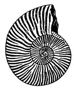 El <em>Neocomites noricum</em> és una espècie d´ammonit del cretaci inferior que abunda a Eivissa.