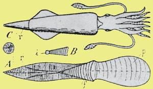 Belemnits. A, esquema de la conquilla d´un fragmòfor (belemnit); f, fragmocon; p, proòstrac; r, rostres; i, cambra inicial o embrionària; s, secció del rostre; B, detall de l´extrem del fragmocon; C, belemnit reconstruït.