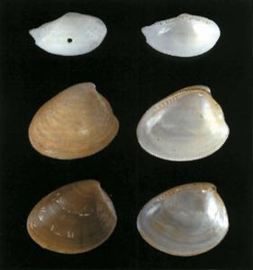 Conquilles de diverses espècies de bivalves. Per aquest ordre, <em>Nuculana pella</em>, <em>Nucula sulcata</em> i <em>Nucula nucleus</em>. Foto: Jordi Vidal / <em>Història Natural dels Països Catalans.</em>