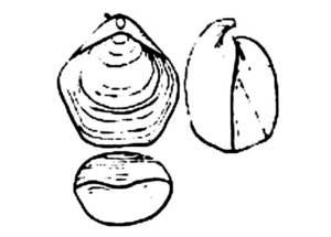 Dibuix exquemàtic del braquiòpode <em>Tamarella tamarindus</em>.