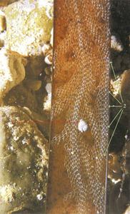 Els briozous <em>Electra posidoniae</em> (1) i <em>Lichenopora radiata</em> (2), tots sobre una fulla vella de posidonia. Extret d´<em>Invertebrados alguícolas marinos de las islas Pitiusas</em>.