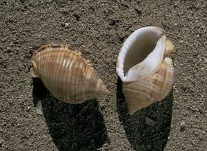 Dues conquilles de càssids. Foto: Salvador Ramon Torres.