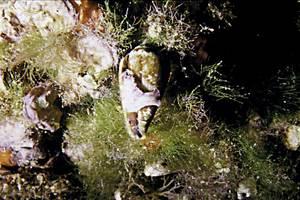 Un caragol marí de la família dels cònids. Foto: Rainer Klingner.