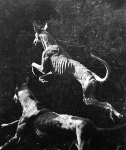 """Dos cans eivissencs en plena acció de caça. Foto: Charles Camberoque/""""Ca eivissenc: l´alternativa""""."""