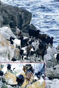 Cabres als penyals des Vedrà. Foto: Joan A. Riera / <em>Diario de Ibiza</em>.