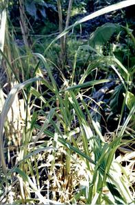 Canya de sucre, planta de la família de les gramínies. Foto: Cristòfol Guerau d´Arellano Vilanova.