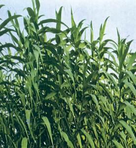 La canya és una planta de la família de les gramínies. Foto: cortesia de la <em>Gran Enciclopèdia Catalana</em>.