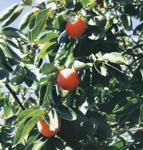 Detall d´un caquiter amb fruit. Foto: Cristòfol Guerau d´Arellano Vilanova.