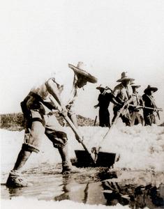 Una colla de cavadors a ses Salines amuntegant la sal en cavallons. Foto: J. Vilà Valentí.