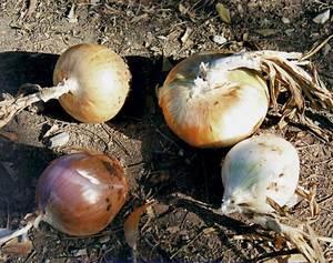 Bulbs de ceba; llevat del de baix a l´esquerra, són de la varietat bavosa. Foto: Cristòfol Guerau d´Arellano Vilanova.