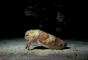 Una sèpia, de la classe dels cefalòpodes. Foto: Rainer Klingner.