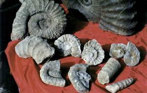 Fòssils de cefalòpodes del cretaci. Foto: col·lecció Rehkamper.