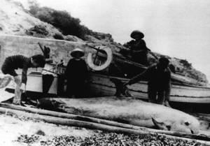 Pescadors mostrant un cap gros, animal marí de l´ordre dels cetacis.