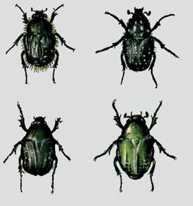Quatre espècies del grup dels cetonins.