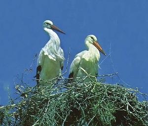 Dues cigonyes, aus de l´ordre dels ciconiformes i de la família dels cicònids.