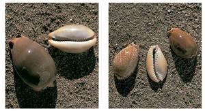 Conquilles de porcellanes, gasteròpodes de la família dels cipreids.