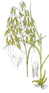 Dibuix de les parts de la planta de la civada. (Història Natural dels Països Catalans.)