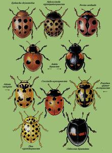 Diferents espècies de coccinèl·lids.