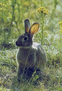 Un conill de bosc.