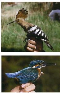A dalt, un puput, i a baix un blauet, ocells de l´ordre dels coraciformes. Fotos: José Martínez López / GEN.