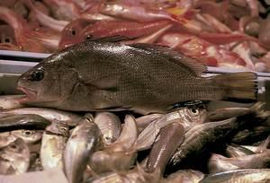 Una corba, peix apreciat gastronòmicament.