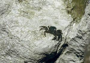Un cranc, el més comú dels crustacis.
