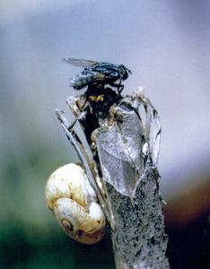 Una mosca, insecte de l´ordre dels dípters. Foto: Antoni Ferrer Abárzuza.