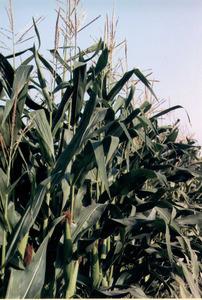 La planta de la dacsa, anomenada dacsera. Foto: Cristòfol Guerau d´Arellano Vilanova.